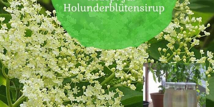 Aus der Natur in die Küche: Rezept für Holunderblütensirup